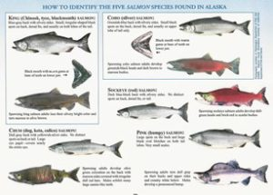 Five species of Salmon
