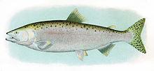 humpy salmon