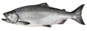 chinook salmon - alaska