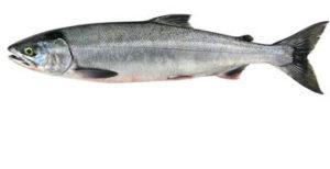 Chum Dog Salmon