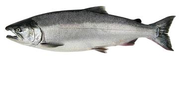 Coho Silver Salmon