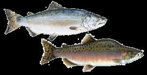 Pink Humpy Salmon