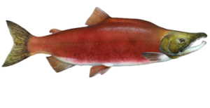Sockeye Red Salmon