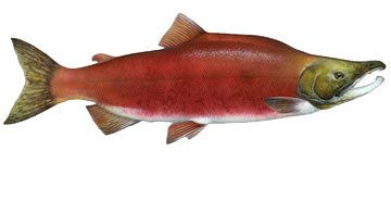 Sockeye Red Salmon