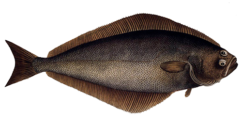 Altantic Halibut